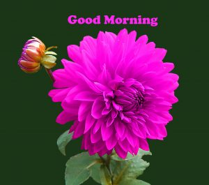184 Flower Good Morning Hd Images Wallpaper For Whatsapp