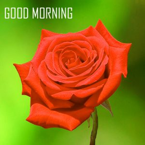 Red Rose Flower Good Morning Photo Pics Free Download