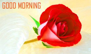 Red Rose Good Morning Images In HD Download