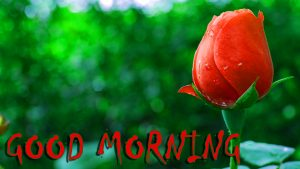 Good Morning Status Images With Red Rose