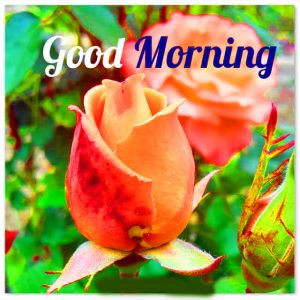 Whatsaap & Facebook Good Morning Images Photo Pics HD With Flower