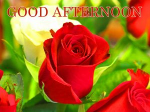 Good Afternoon Images Pics With Red Rose