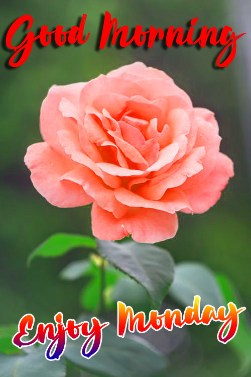 Flower Rose Monday Good Morning Images Pics Download