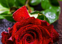 Red Rose good Morning for L