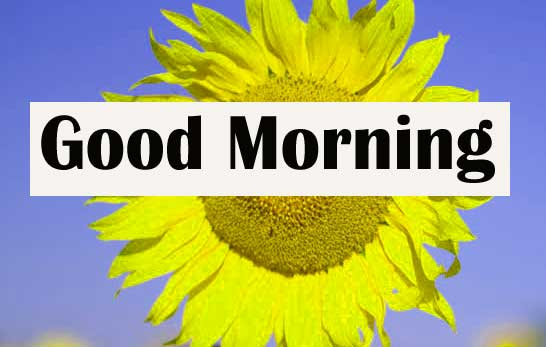 Good Morning Sunflower Images for Whatsapp Free