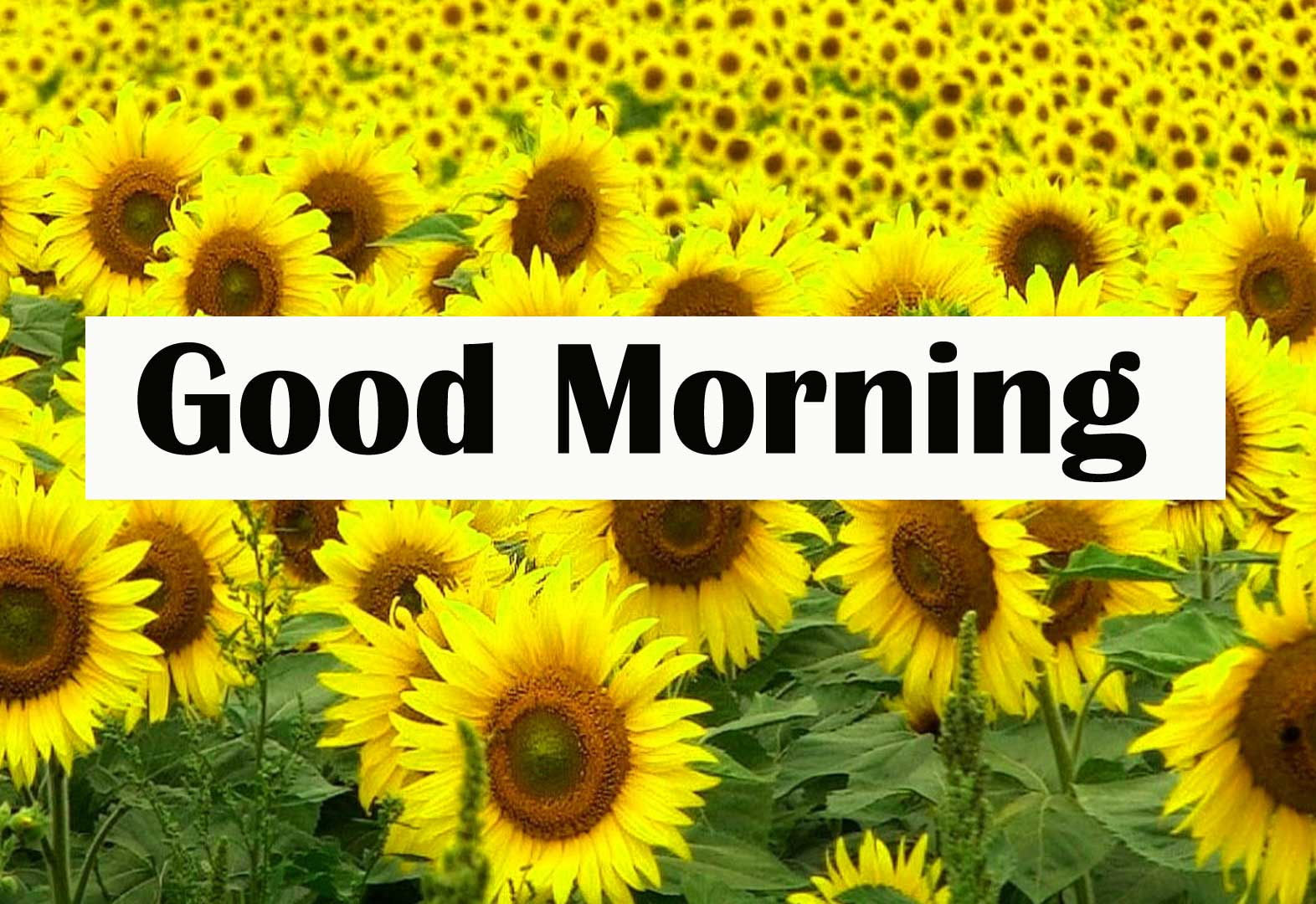 Latest Sweet Good Morning Sunflower Images Pics Download