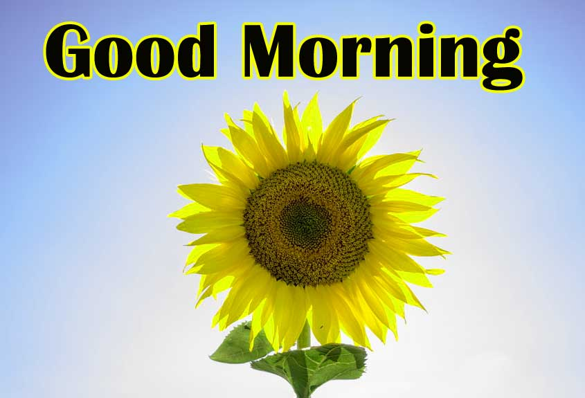 Best Latest Free Good Morning Sunflower Images Pics Download