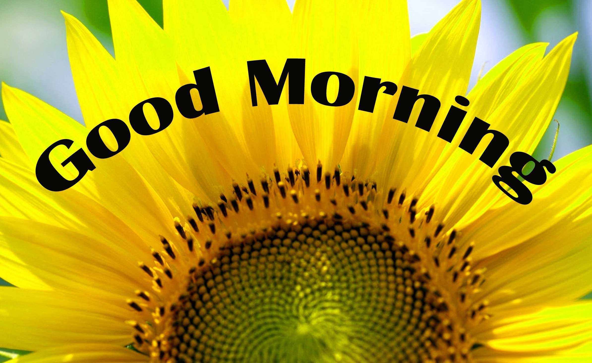 Good Morning Sunflower Images Photo for Facebook