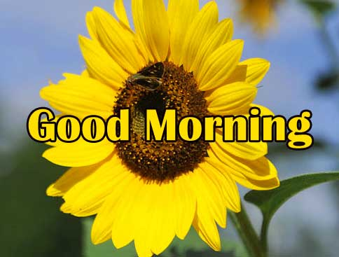 Good Morning Sunflower Images Wallpaper Free
