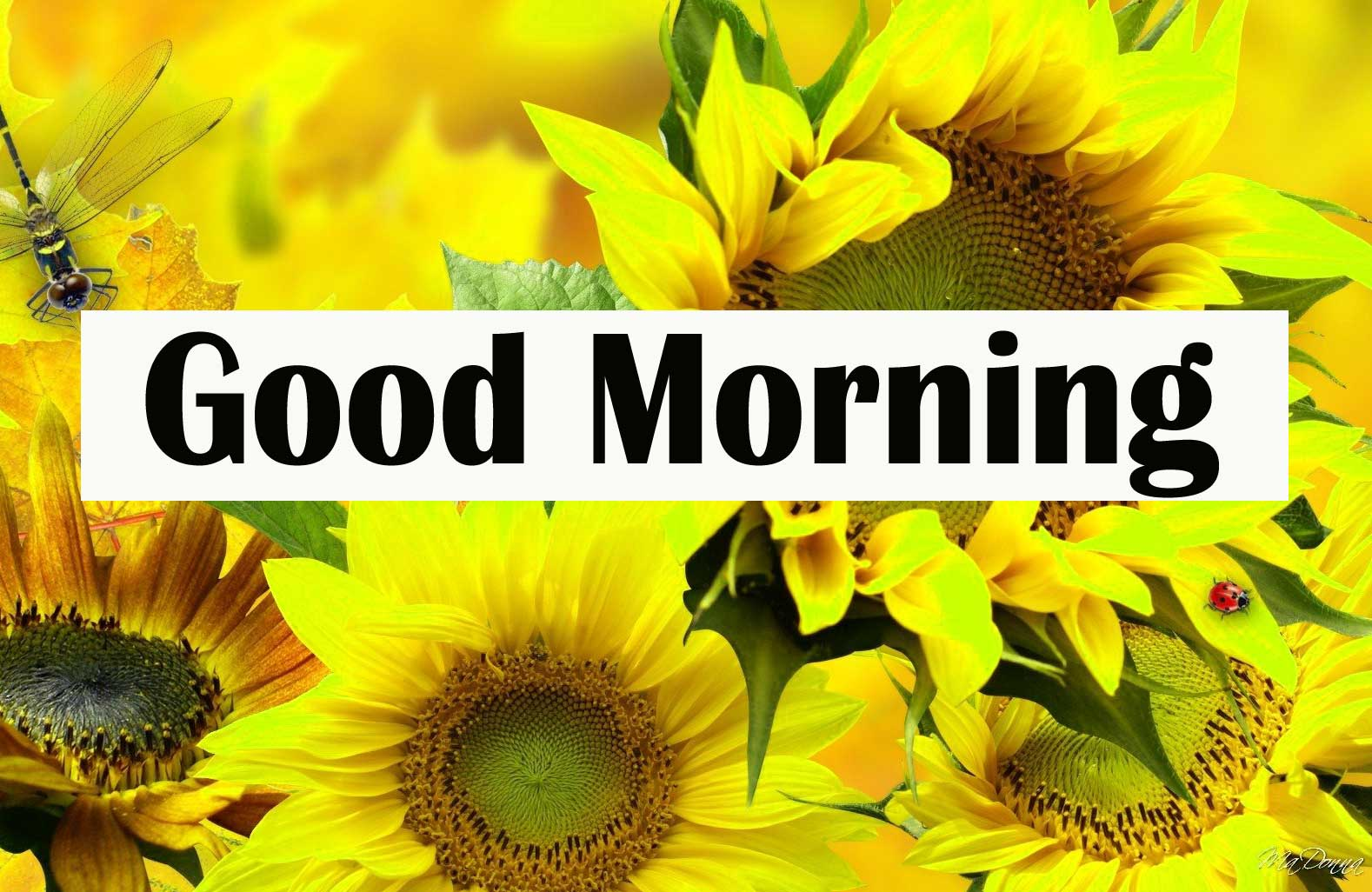 Full HD Good Morning Sunflower Images Pics Download