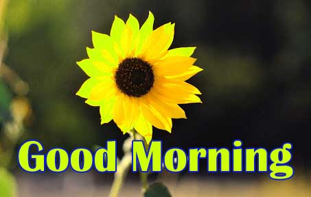 New Top 1080p Good Morning Sunflower Images Pics Download