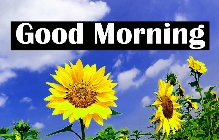 Latest 4k Ultra Free Good Morning Sunflower Images Pics Download