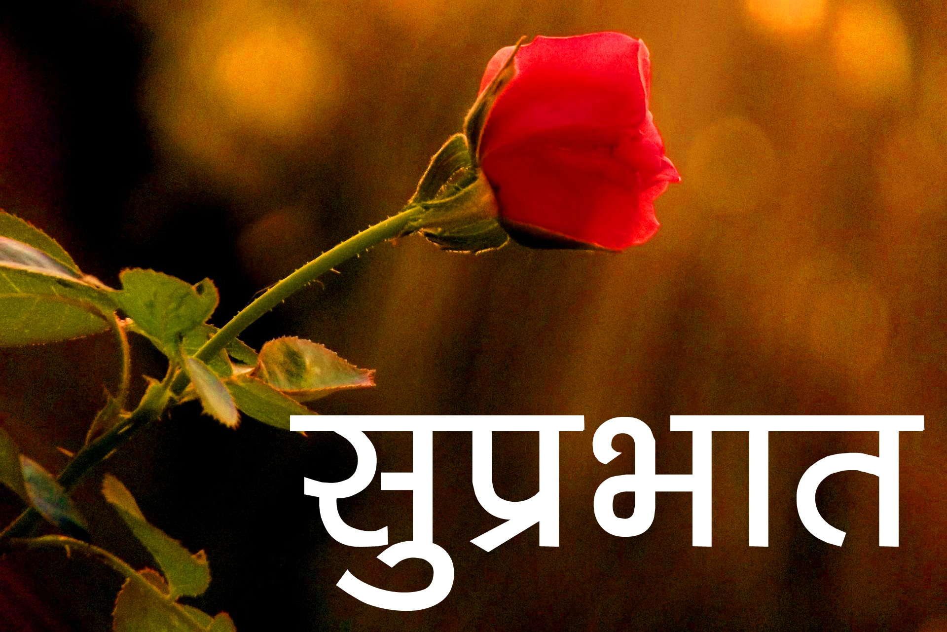 Red Rose Suprabhat Images 10