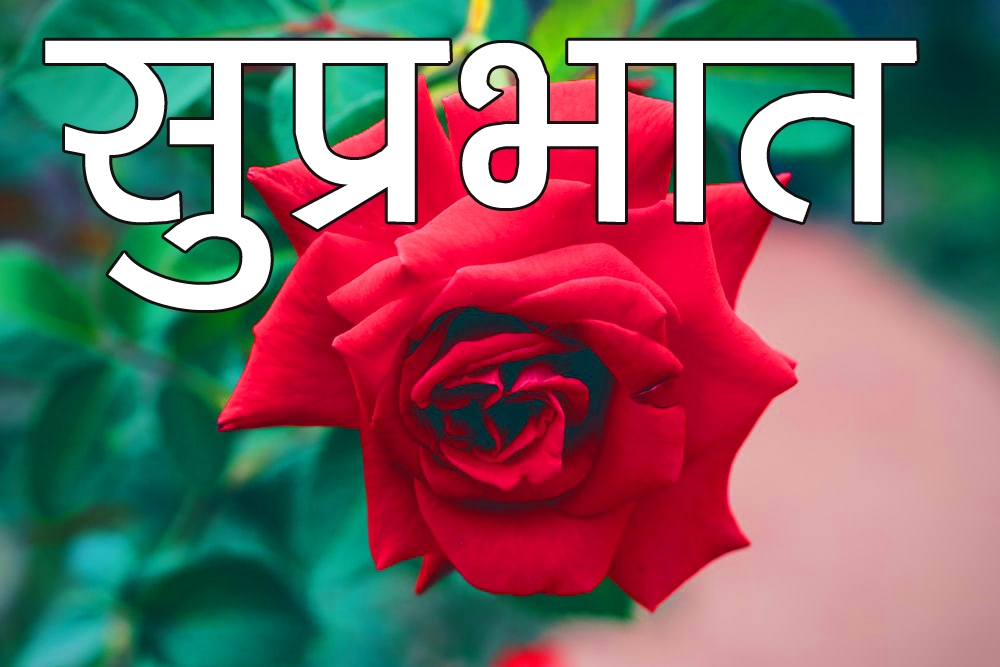 Red Rose Suprabhat Images 11 1