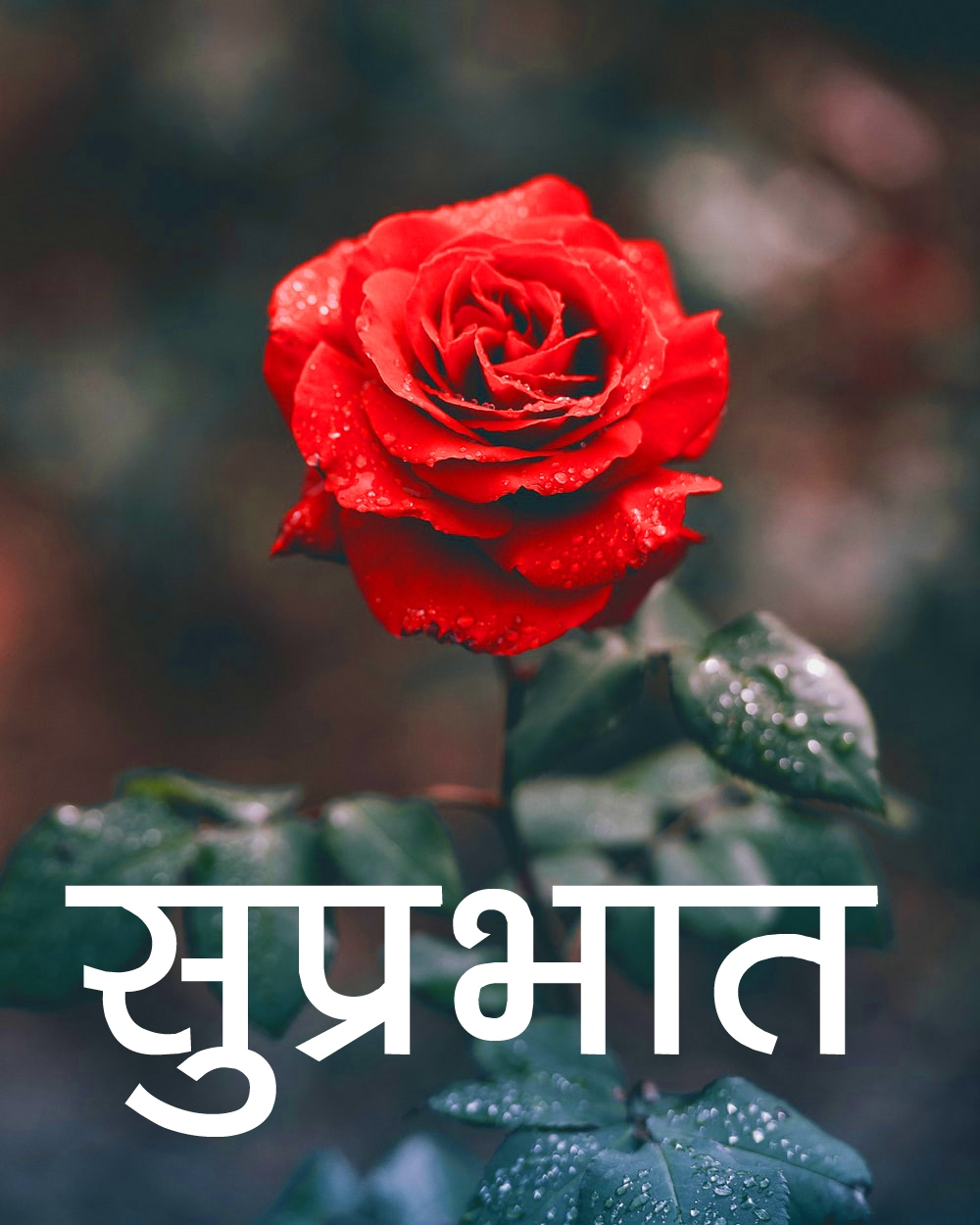 Red Rose Suprabhat Images 12 1