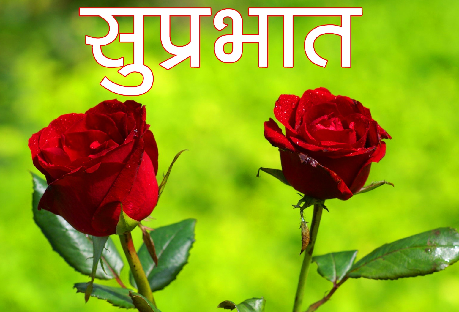 Red Rose Suprabhat Images 16 1