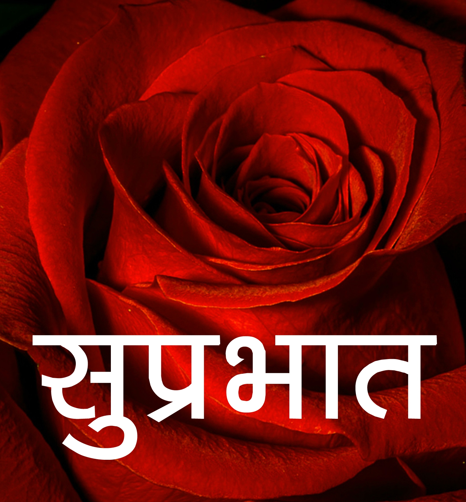 Red Rose Suprabhat Images 17 1