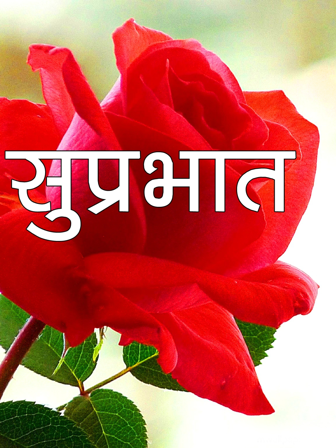 Red Rose Suprabhat Images 19 1