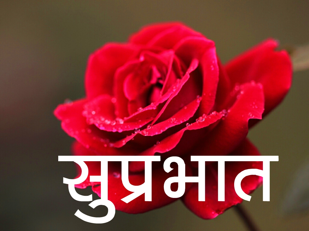 Red Rose Suprabhat Images 3 1