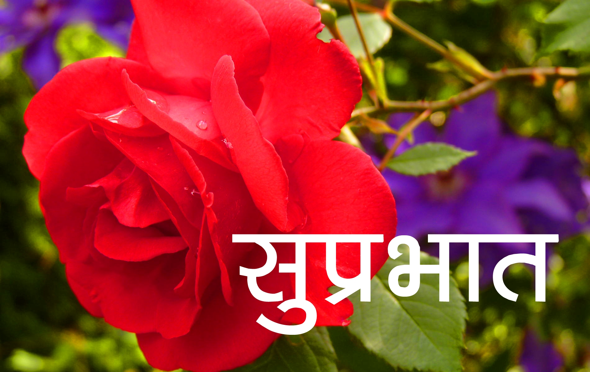 Red Rose Suprabhat Images 3