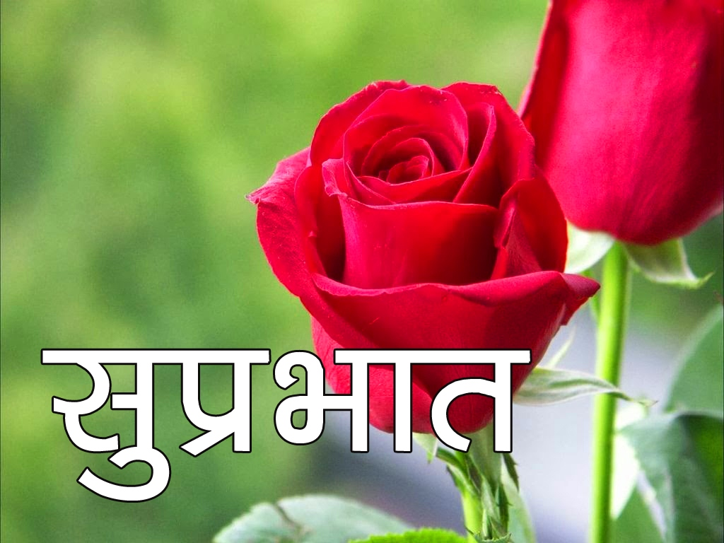 Red Rose Suprabhat Images 4 1
