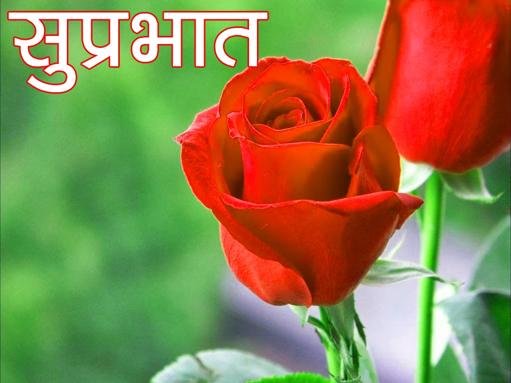 Red Rose Suprabhat Images 5 1