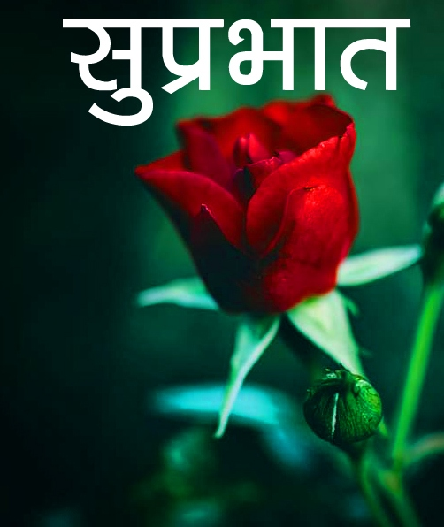 Red Rose Suprabhat Images 9