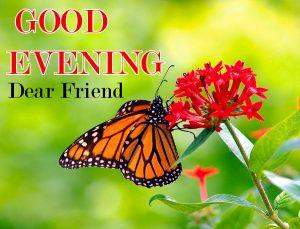 Butterfly Good Evening Images Pics Download