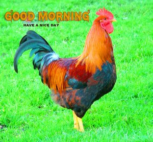 Free Good Morning Rooster Wallpaper
