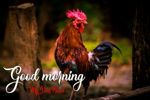 Good Morning Rooster Images Dowload