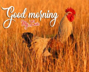 Good Morning Rooster Pics Images In Full HD
