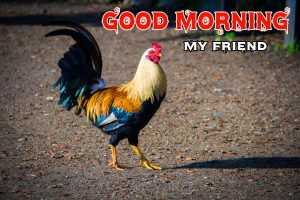 Good Morning Rooster Wallpaper for Whatsapp