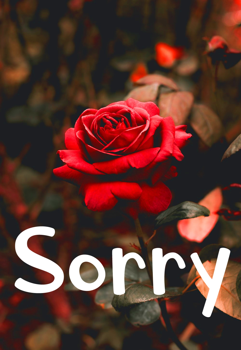 Rose Free I am Sorry Images Pics Download