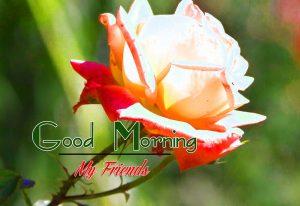 Rose Best Good Morning Images Pics Download