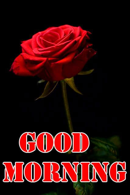 Red Rose Good Morning Wishes Photo HD