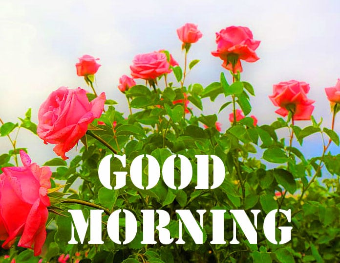 Rose Free Good Morning Wishes Pics Download