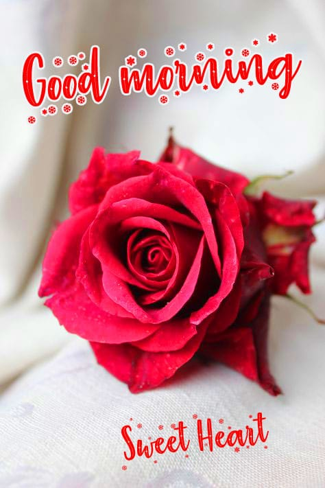 Rose free Good Morning Wishes Images Download 2