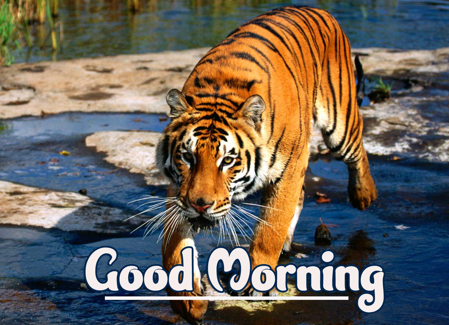 Animal Bird Lion Good Morning Wishes Wallpaper Free for Facebook