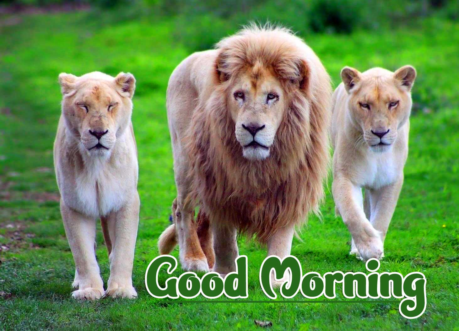 Animal Bird Lion Good Morning Wishes Pics Pictures Free Download