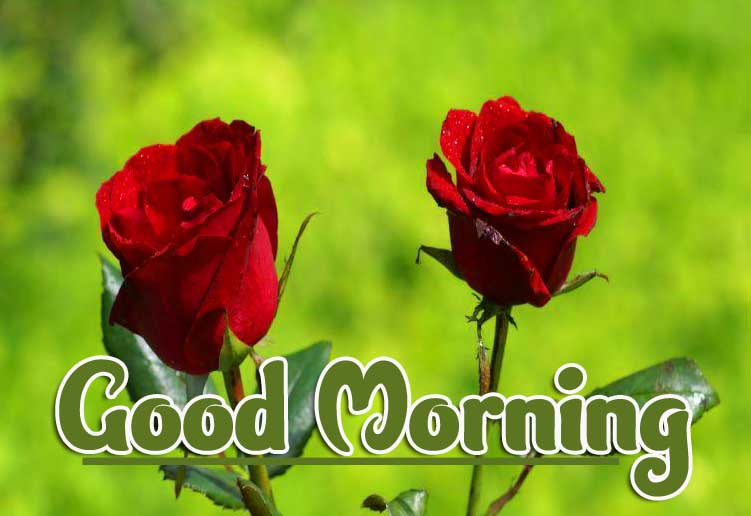 Rose Free Good Morning Photo Pics Download