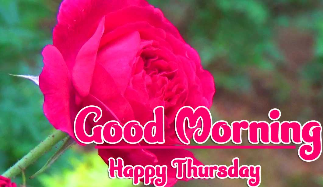 Thursday Good Morning Images pics Wallpaper Free With Rose