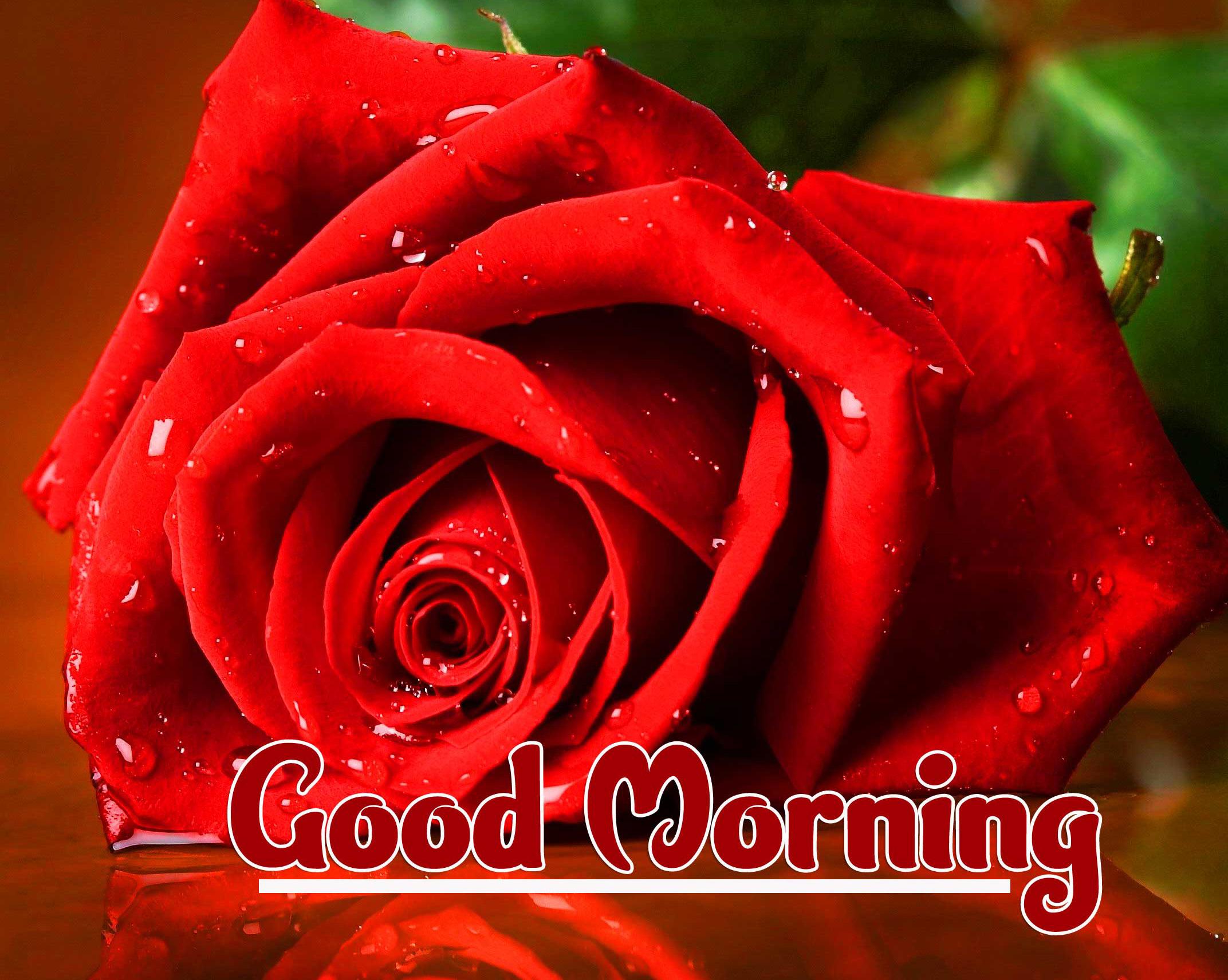 Rose HD Free 1080p Good Morning Pics Wallpaper Download