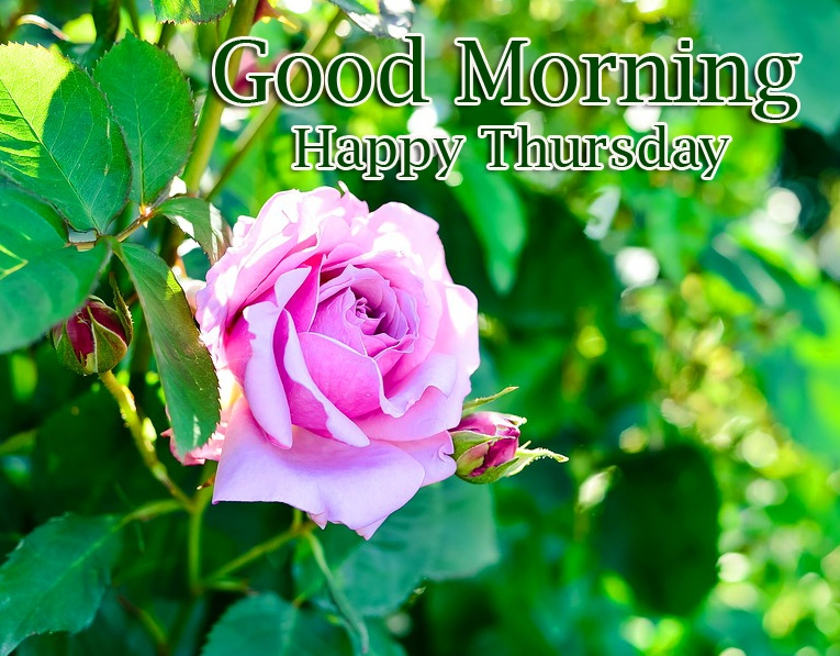 New Rose Free Good Morning Thursday Images Pics Download