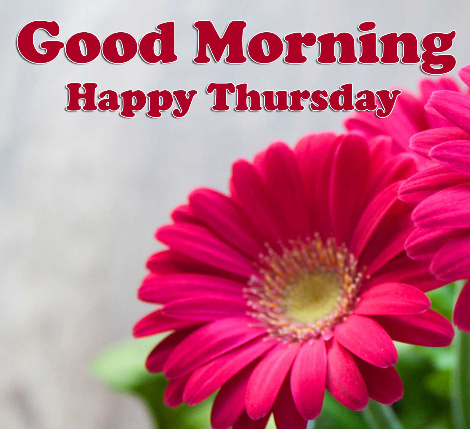 New Rose Good Morning Thursday Images Pics Download Free
