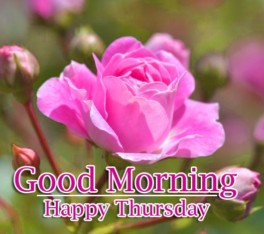 Rose Free Good Morning Thursday Images Pics Download