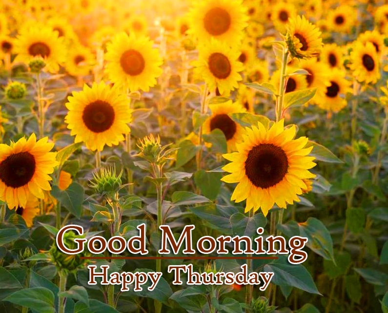 Sunflower Good Morning Thursday Images Pics Download
