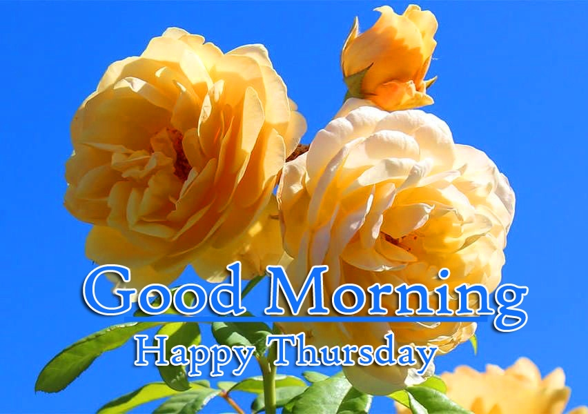 Yellow Rose Good Morning Thursday Images pics Download Free