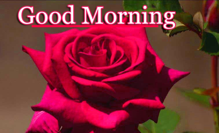 Good Morning Wallpaper Pictures With Rose New