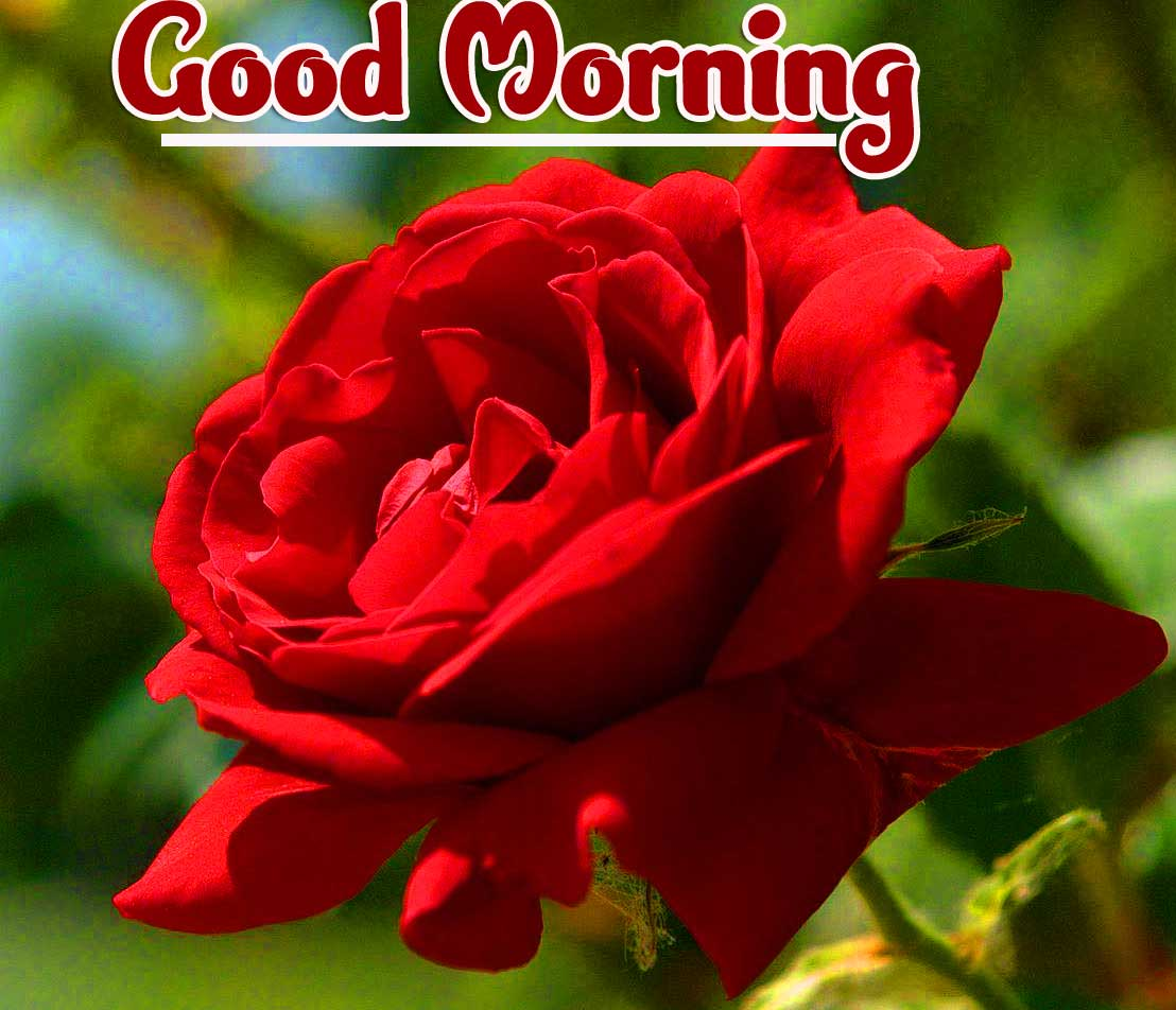 Beautiful Red Rose Good Morning Photos Pics Free Latest Download