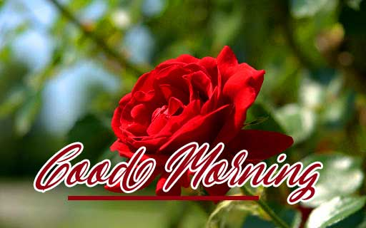 Latest New Beautiful Red Rose Good Morning Photos Pics Download